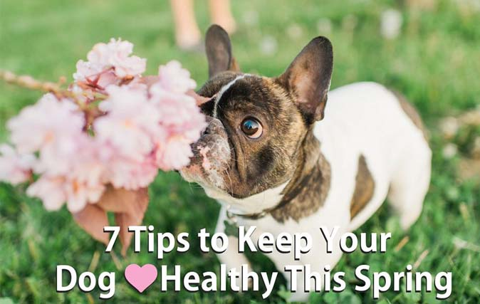 french bulldog sniffing pink flowers