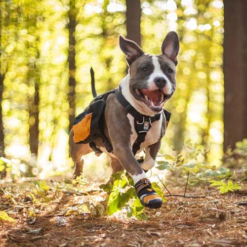 Pitbull with protective shoes and backpack
