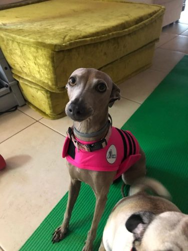 gray-dog-with-stress-vest-pink