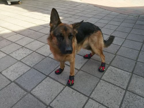 large-dog-with-shoes