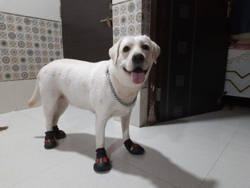 large-labrador-dog-with-red-shoes