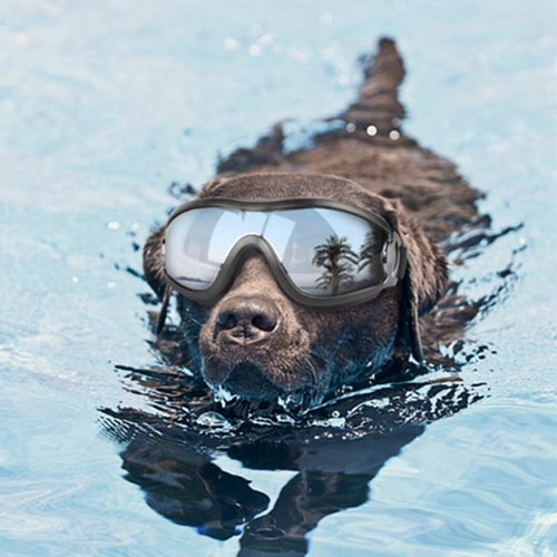 chocolate retriever dog in swimming pool with goggles