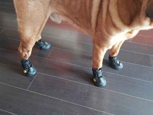 sharpey-dog-with-shoes