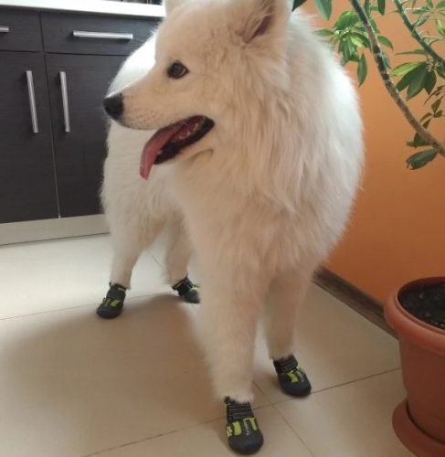 white-dog-with-shoes