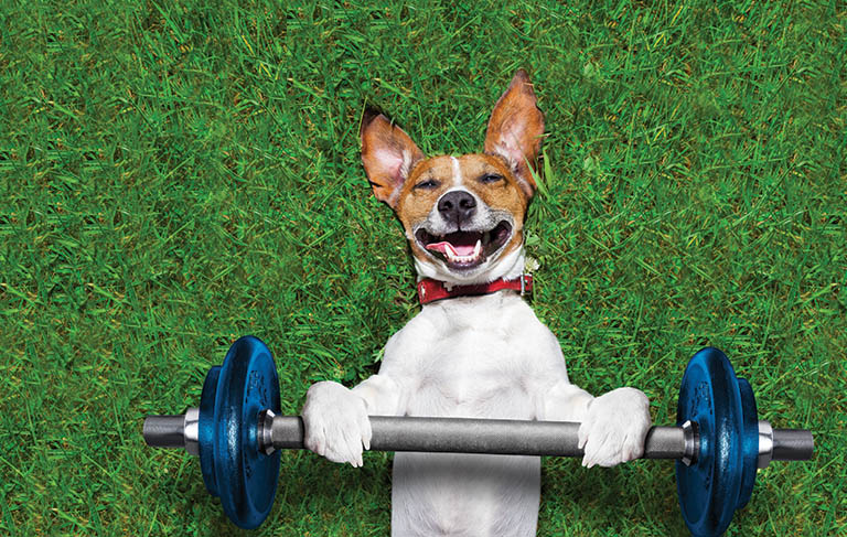 Jack Russell terrier exercising with weights