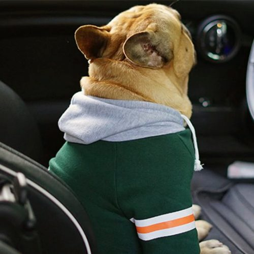 french bulldog with hoodie in a car