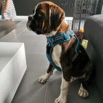 boxer dog product diesel review photo1