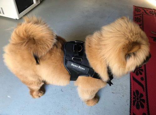 chow chow dog with personalized dog harness
