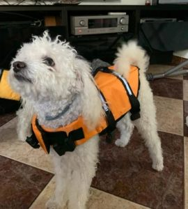 white-dog-at-home-with-life-jacket