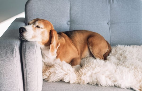 dog beagle sleeping on the couch