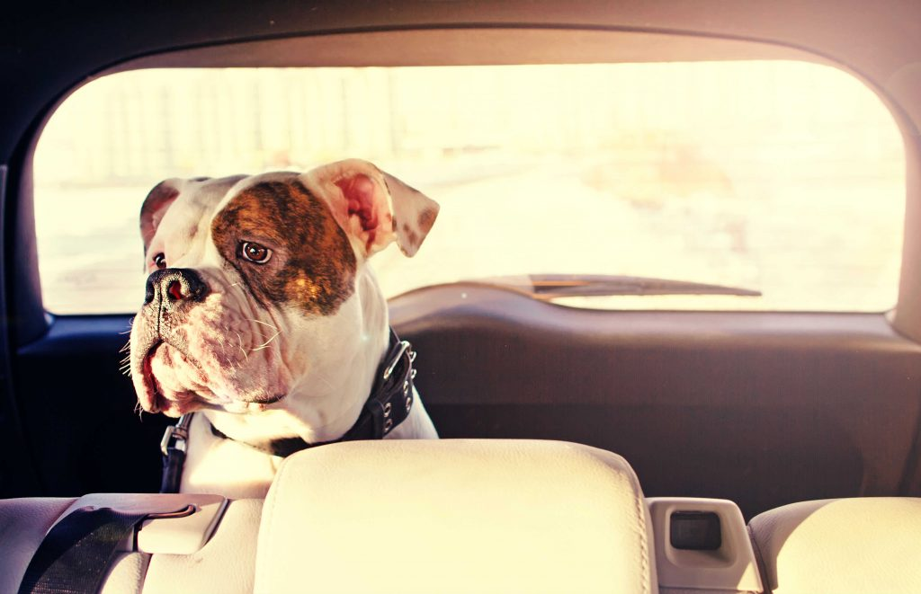 german boxer with white spots sitting in a car