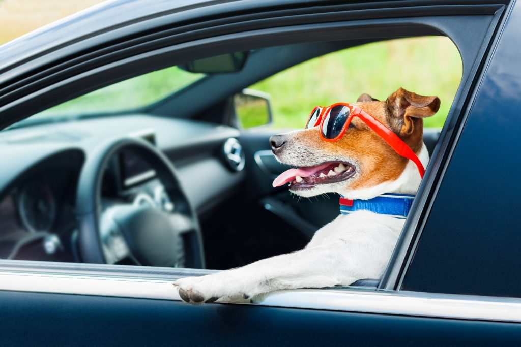 jack russell terrier in car with red glasses
