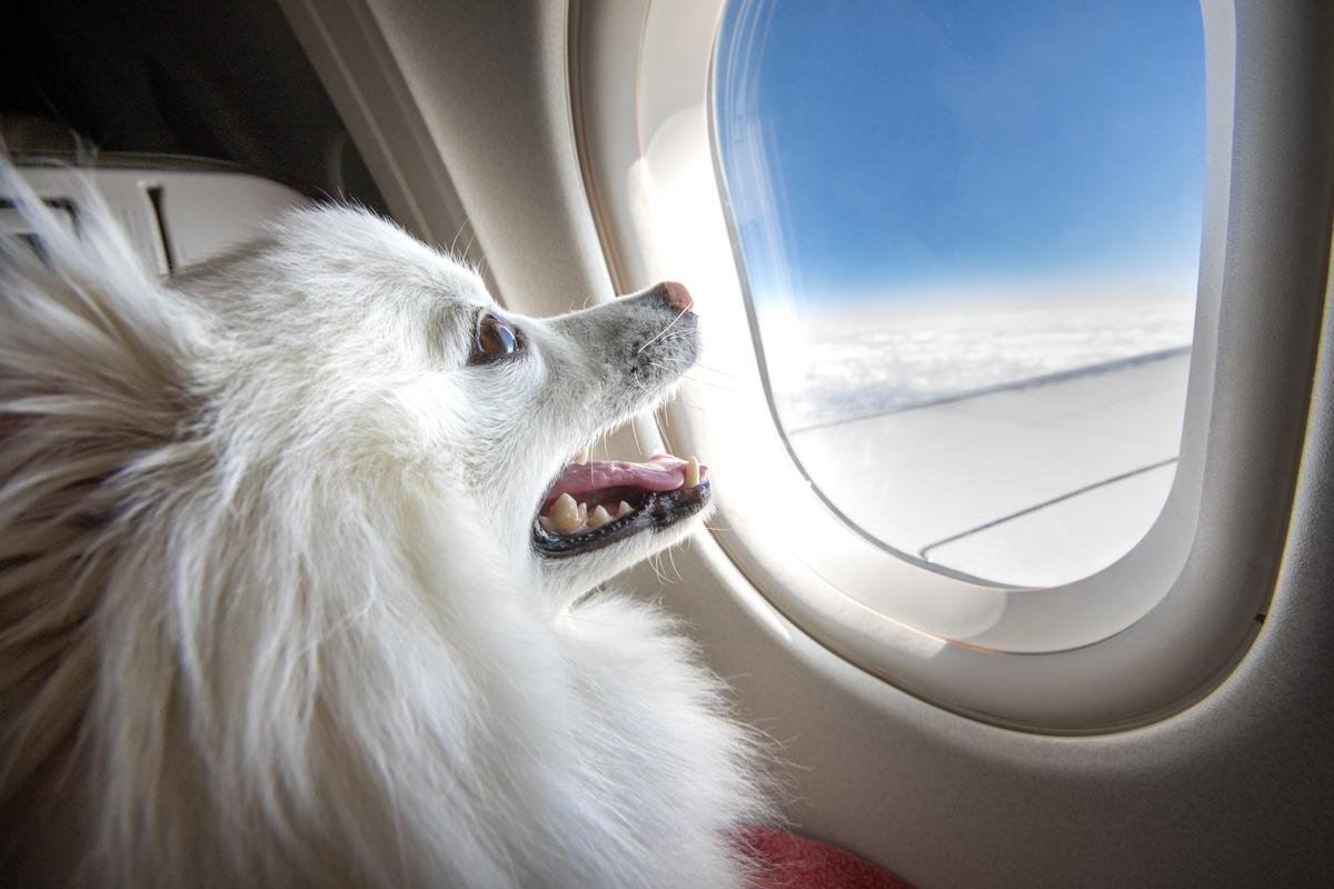 white dog looking from plane window