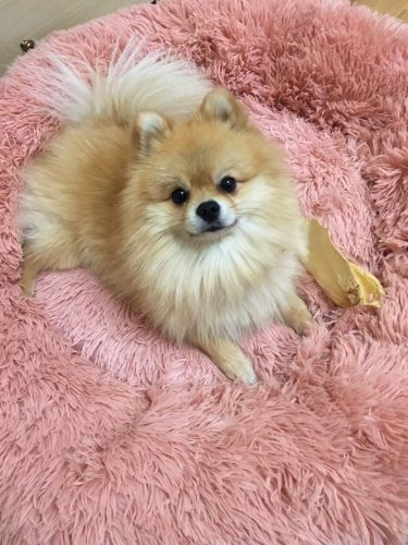 little-dog-with-rose-cloud-bed