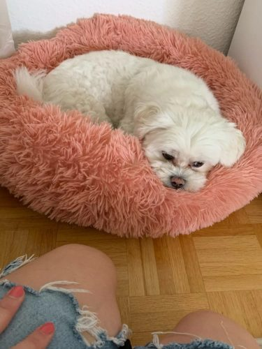 white-dog-with-rose-dog-cloud-bed