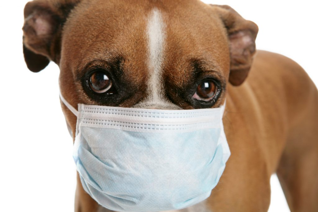 german boxer dog with a medical mask