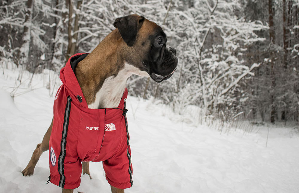 German Boxer with pawtex red jacket